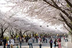 Du lịch Hàn Quốc - Lễ hội hoa anh đào