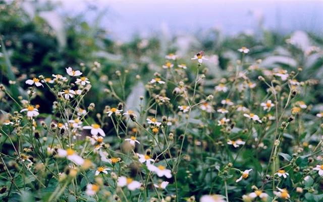 Hoa Xuyến Chi - Vẻ đẹp khiến du khách cứ mãi vấn vương