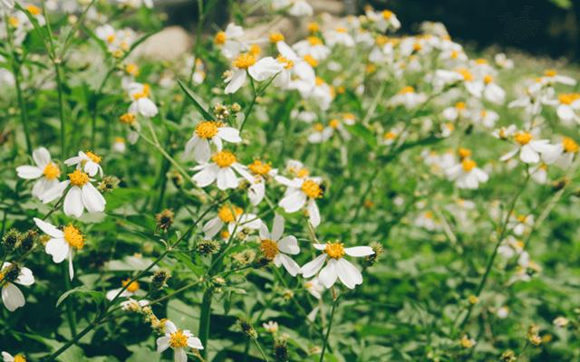 Vẻ đẹp của hoa Xuyến Chi khiến nhiều du khách mê mẩn